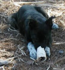 australian shepherd jack russell mix size aussie jack russel mix puppies u0027 web page