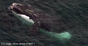 dramatic increase in number of right whales in cape cod bay