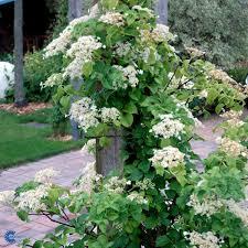 hydrangea u2013 anomala ssp petiolaris climbing hydrangea paramount