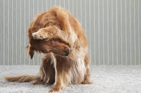 How Long Do Fleas Live In Carpet 3 Steps To Get Rid Of Fleas In Your Home