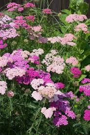 Plant Flower Garden - best 20 yarrow plant ideas on pinterest tough as nails tips
