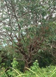 special tree picture of cape rachado port dickson tripadvisor