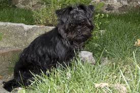 affenpinscher pics affenpinscher pictures photos and images of the affenpinscher