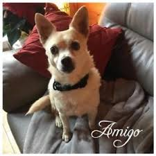 chihuahua adopt local dogs u0026 puppies in british columbia