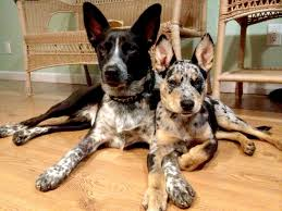 australian shepherd cattle dog mix 68 best cattle dog mix images on pinterest cattle dogs