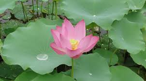 national flower of india lotus an essay