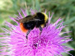 red tailed bumblebee naturespot