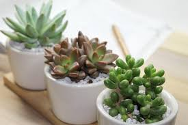 where can you buy succulents