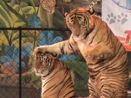 Tiger Meme - create meme good siea good siea tiger tiger pictures