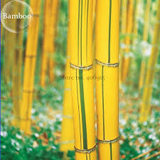 phyllostachys viridis sulfurea yellwo green striped bamboo 30