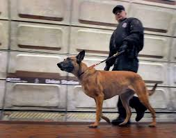 belgian malinois in movies the belgian malinois the dog the white house didn u0027t use on fence