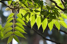 ailanthus tree s status as invasive species offers lesson in human