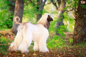 afghan hound grooming your afghan hound at home pets4homes