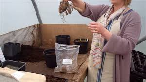 how to plant dahlia tubers youtube