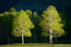 trees flora subjects themes images of rocky mountain