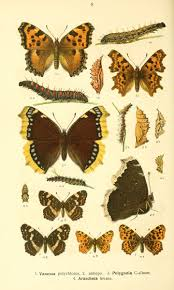 135 best butterfly illustrations from the 1800s images on