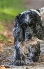 imagenes de english cocker spaniel english cocker spaniel dog breed information pictures