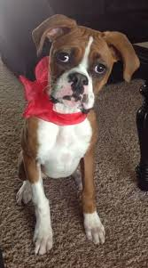 boxer dog mean boxer puppy playing boxer puppies pinterest puppys boxers