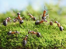 lawn problems 11 ants in your lawn turf growers