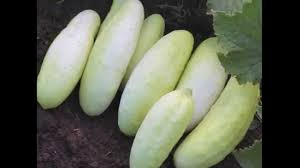 platinum cucumber grow your own for flavor youtube