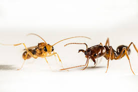 queen ants from other species smell different journal of