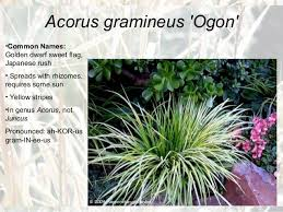 ornamental grasses for master gardeners