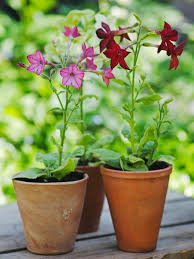 Fragrant Container Plants - planting flowers for summer perfume hgtv