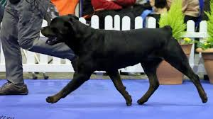 thanksgiving day dog show manchester championship dog show 2015 working group youtube