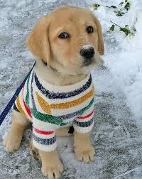 10 adorable puppies wearing sweaters i every single one