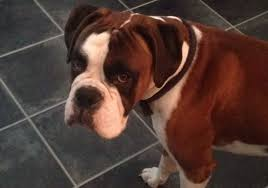 boxer dog white male red u0026 white boxer dog nearly 3 years old droitwich