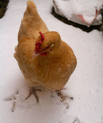 tips for preventing chicken boredom in the winter backyard chickens
