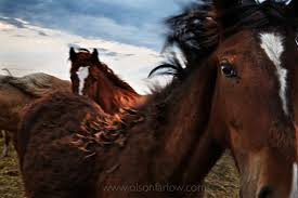 mustang horse mustangs spirit of the shrinking west national geographic
