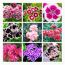 sweet william flowers 100 dianthus seeds mixed packed sweet william flower easy to