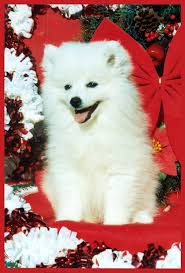 american eskimo dog tattoo 117 best american eskimo dog images on pinterest american eskimo