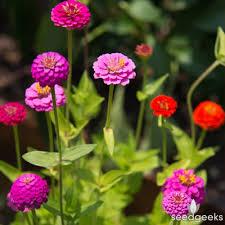 zinnias flowers zinnia lilliput mix seedgeeks heirloom seeds