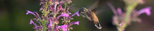 Hummingbird Flowers Hummingbird Flowers The Best 18 Plant Families For Natural Nectar