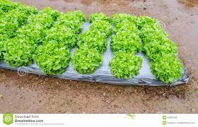 growing vegetable garden royalty free stock photo image 34959165