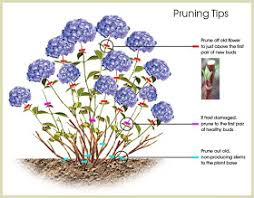 discovered in japan the name hydrangea comes from the
