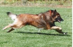 belgian sheepdog uk belgian tervuren