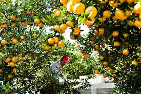 orange juice fortune