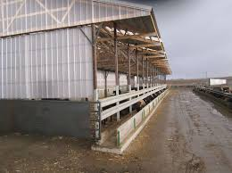 Show Steer Barns Use Indoor Feedlot Facility For Cattle Confinement Size 65 U0027 4