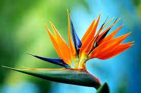 bird of paradise flower bird of paradise flower weneedfun