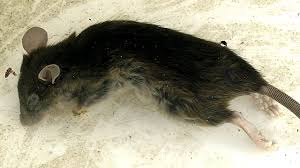 giant rat trap accident simple how to control rodents youtube