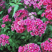 william dianthus barbatus