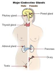The Human Body Picture Endocrine System Wikipedia