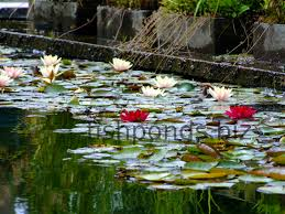 native uk pond plants fish pond plants guide and species