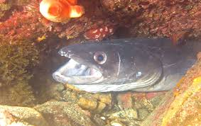 comment cuisiner le congre poisson comment cuisiner le congre poisson 28 images une fable sur les