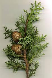 false cypress tree britannica