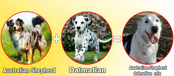 1 australian shepherd what happens when you cross dalmatian with other dog breeds