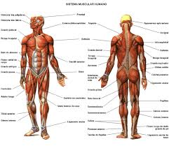 printable muscular system diagram anatomy organ